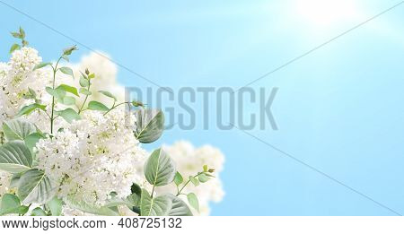 Branch of Lilac on sunny blue sky background. Summer nature scene with twig of Common Lilac (Syringa vulgaris) and flowers of white color. Horizontal spring banner with flowers. Copy space for text