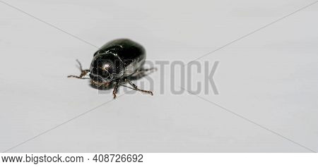 Macro Shot Of Forest Dung Beetle (anoplotrupes Stercorosus) On White Background Surface