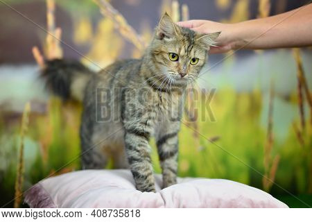 Man Woman Petting Stroking Tabby Cat By Hand. Relationship Of Owner And Domestic Feline Animal Pet.