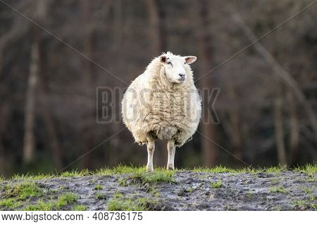 A White Sheep On A Grassy Hill. Sheep Looks Straight Into The Camera. Selective Focus, Trees In The