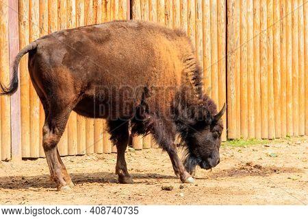 European Bison (bison Bonasus), Also Known As Wisent, Auroch In A Paddock At Farmyard