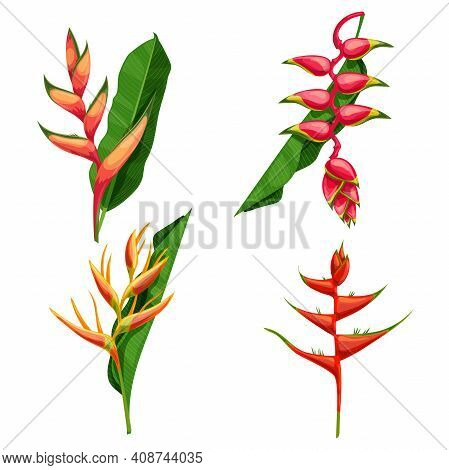 Different Types Of Tropical Flowers Heliconia. Heliconia Bihai, Rostrata And Others. Blooming Tropic