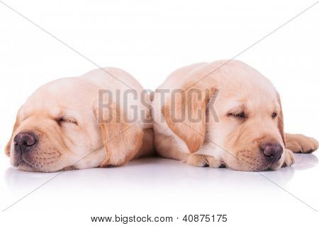 two adorable labrador retriever puppy dogs sleeping on a white background