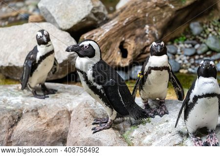African Penguin On The Sandy Beach. African Penguin ( Spheniscus Demersus) Also Known As The Jackass