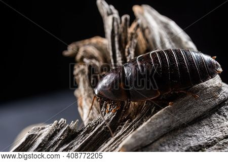 One Kind Of Cockroaches Is Blattodea. It Is Kind Of Insects That Contains Cockroaches And Termites.