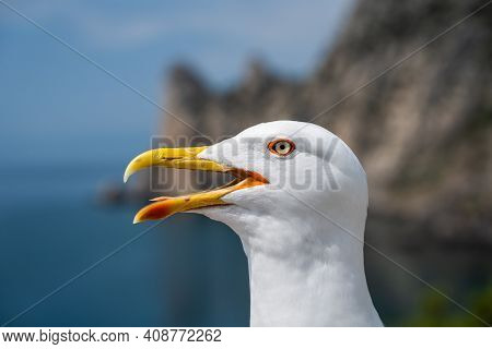 Gull Open Mouth Screaming. Head Shot Close Up Gull