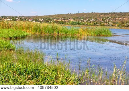 Scenery With Green Reed Plants . Wild Nature With Swamp . Riverside Rustic Landscape