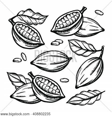 Cocoa Fruit And Cocoa Beans Of Theobroma Tree Monochrome Design On White Background In Vintage Style