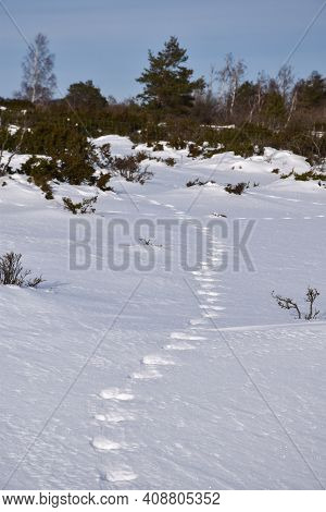 Winding Animal Tracks In The Snow In A Landscape With Junipers