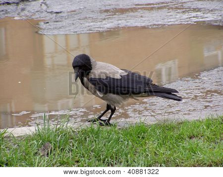 The Gray Crow