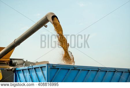 Unloading Grains Into Truck By Unloading Auger. Ripe Wheat Grain Falling From Combine Auger Into Car