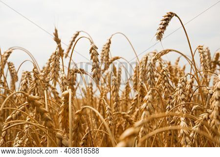 Summer Landscape Of Wheat Field. Ripe Cereals Field. Golden Spikelets Of Ripe Wheat Close Up