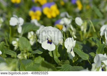 Horned Violet Penny White Blotch - Latin Name - Viola Cornuta Penny White Blotch