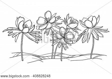 Vector Outline Early Spring Eranthis Or Winter Aconite Flower And Leaves In Black Isolated On White