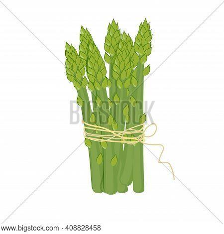 Asparagus Vector Illustration. Asparagus Bunch Isolated Cartoon Flat Style On White. Asparagus Isola