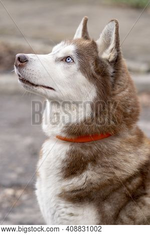 A Husky Dog In A Collar Sits And Looks Up, Close-up, Selective Focus.