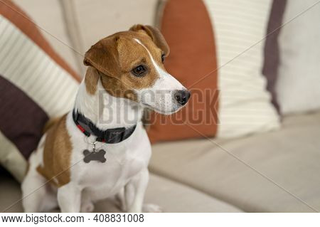 A Jack Russell Dog Sits On The Couch And Looks Away.concept: Pets Live In An Apartment With Their Ow