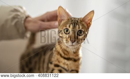 Bengal Cat Is Stroking By A Female Hand, Selective Focus, Close-up. Concept: Pets Calm Their Owners