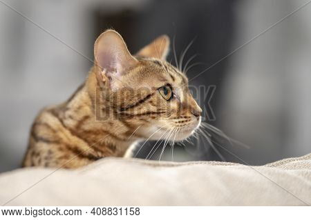 Portrait Of A Bengal Cat Peeking Out From Behind The Back Of A Sofa, Close-up, Selective Focus.
