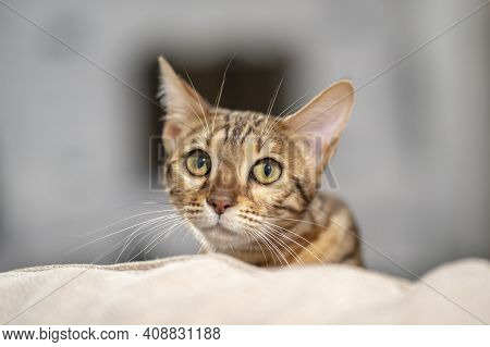 A Bengal Cat Scaredly Peeks Out From Behind The Back Of The Sofa.