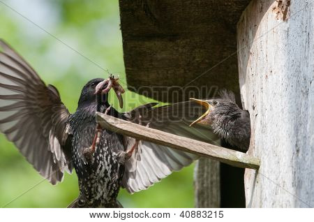 Starling Feeds Her Chick