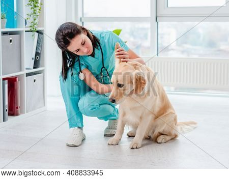 Ear examination of golden retriever dog by vet during appointment in veterinary clinic