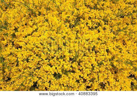 Gorse bush in bloom (Genista)