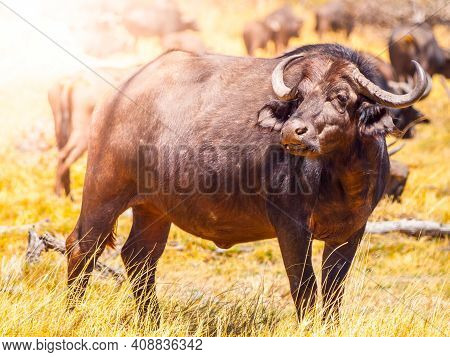 African Buffalo Or Cape Buffalo, Syncerus Caffer, Large African Bovine Standing And Watching In Sava
