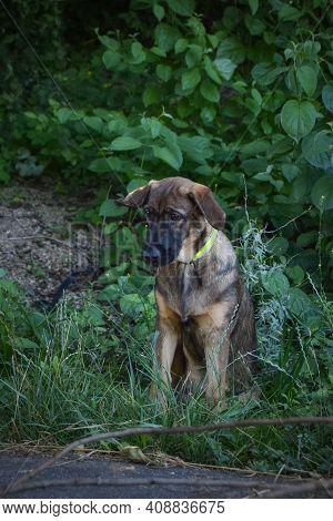 Amazing, Cute, Jung Puppy Of German Shepherd Who Is Sitting In Bush.
