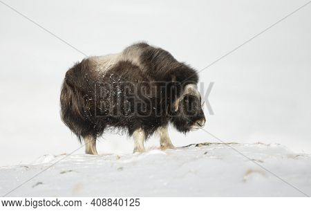 Close Up Of A Musk Ox Standing In Snow,  Dovrefjell Mountains, Norway.