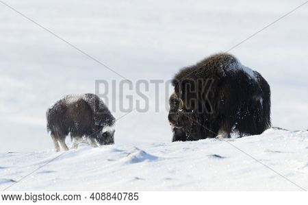 Female Musk Ox With A Calf In Snow During Cold Winter In Dovrefjell Mountains, Norway.