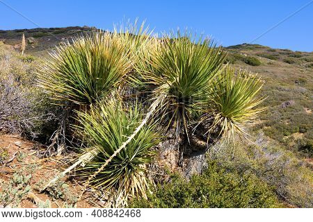 Joshua Tree Surrounded By Chaparral Plants On An Arid Mountainous Slope Taken At The Mojave Desert I