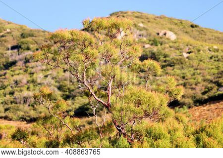 Lush Chaparral Plants On A Rural Hillside Covered With A Chaparral Woodland Taken At A Windswept Fie