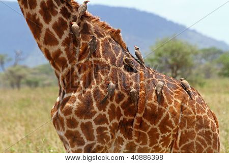 Birds Grooming Body Of Giraffe