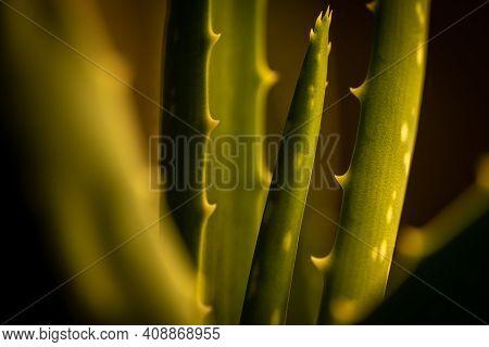 Closeup Of An Aloe Vera Plant In Dim Warm Light.