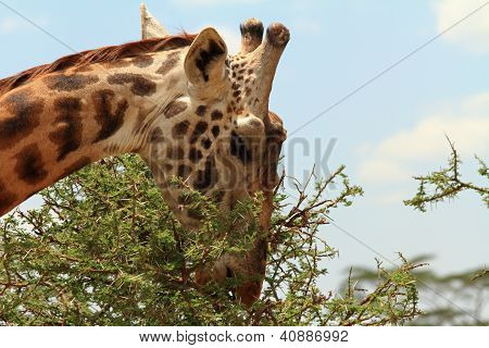 Giraffe Eating A Thorny Acacia Tree