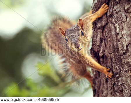 Cute Little Eastern Fox Squirrel (sciurus Niger) Peeking Out From Behind A Tree Trunk