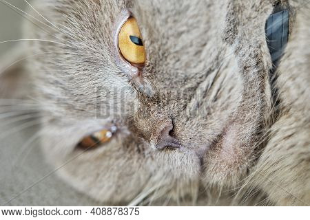 British Gray Cat Lies On The Couch, Close-up