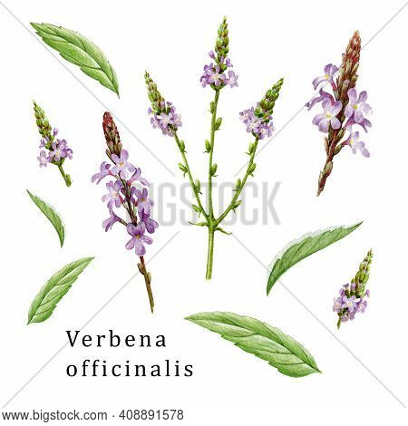 Verbena Officinalis Herb Element Organic Set. Hand Drawn Vervain Plant Collection. Purple Natural Or