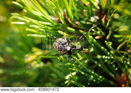 Detail On The Head Of A Rare Species Of Beetle Cerambyx Cerdo Occurring In The Bohemian Forest In So