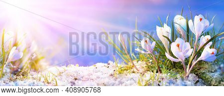 Abstract Spring Concept - Crocus Flowers In Blooming With Sunlight