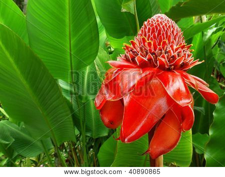 Red Torch Ginger (Etlingera etlatior)