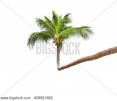 Coconut Palm Tree Isolated On A White Background. Beautiful Crown Of Green Palm Tree From Thailand.
