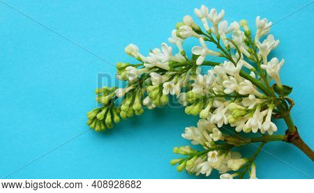 Lilac. A Branch Of White Lilac On A Blue Background. Lilac Blooming View From Above. Spring, Plants