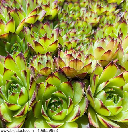 Sempervivum Tectorum, Common Houseleek, Hauswurz, Rosette-forming Succulent Evergreen Perennial.