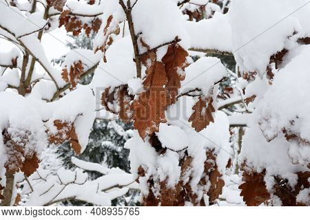 Old Dried Oak Leaves In Winter Forest