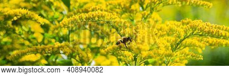 Banner With Bee On Bright Yellow Flowers Of Goldenrod: The Process Of Pollination. Selective Focus.