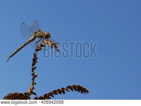 Dragonfly Sits On A Dried Plant, Dry Fern Leaf. A Dragonfly Sits On A Twig, Close-up. Dragonfly On A