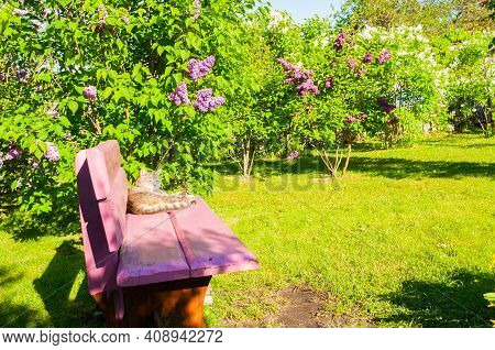 Garden view, Spring garden landscape, spring lilac garden and cat lying on the pink bench, garden landscape, garden nature, sunny garden, colourful garden view. Garden in bloom