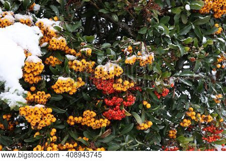 Pyracantha Branches With Bright Orange Ripe Berries In Winter